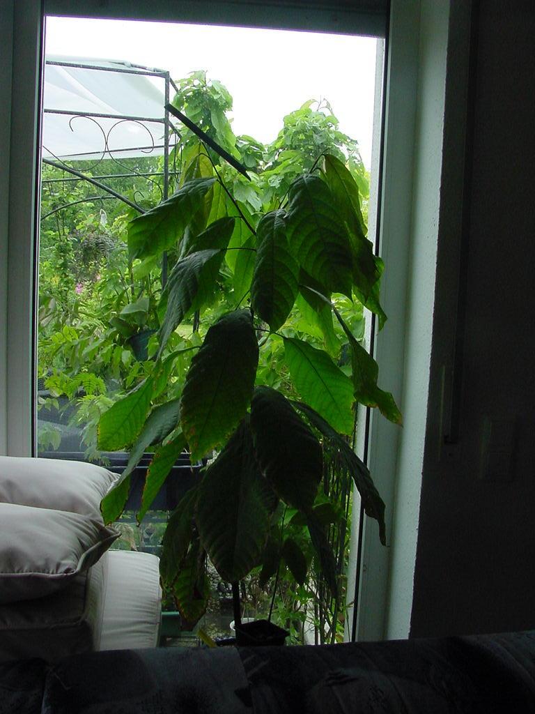 Kakaopflanze 2008